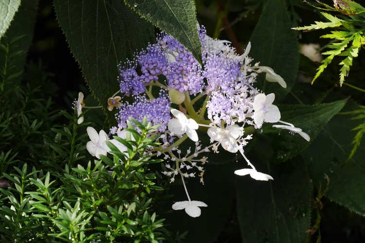 Hydrangea involucrata 'Wim Rutten' (Blue Bunny compact bracted hydrangea)