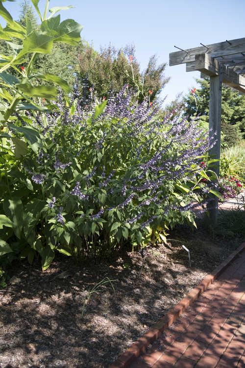 Salvia 'Phyllis' Fancy' (flowering sage)