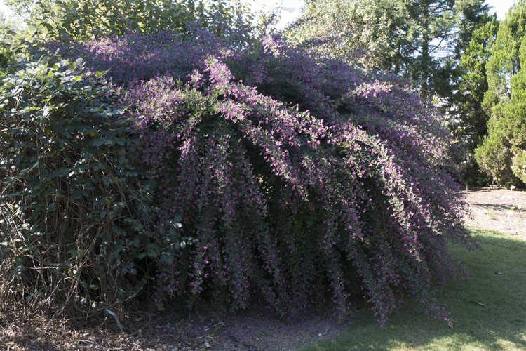 Lespedeza (bush-clover)