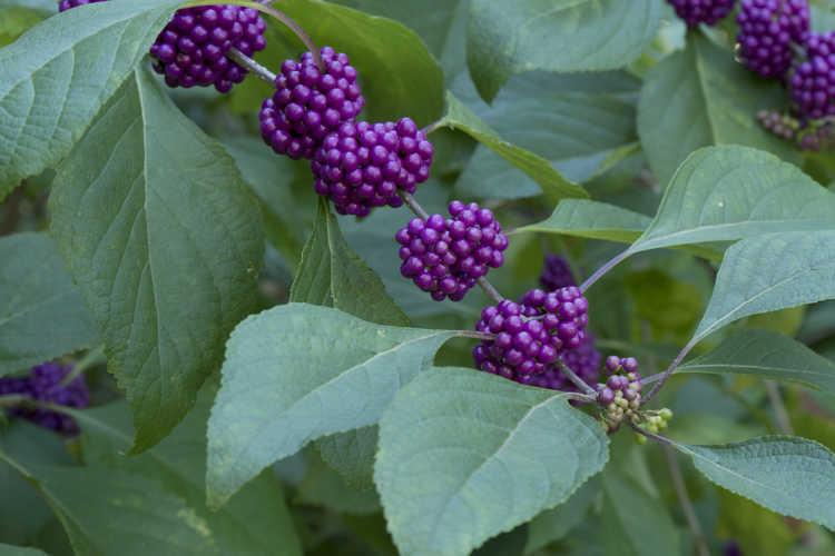 Callicarpa americana 'Berries and Cream' (variegated American beautyberry) - (variegation reverted)