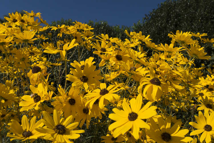 Helianthus salicifolius (willowleaf sunflower)