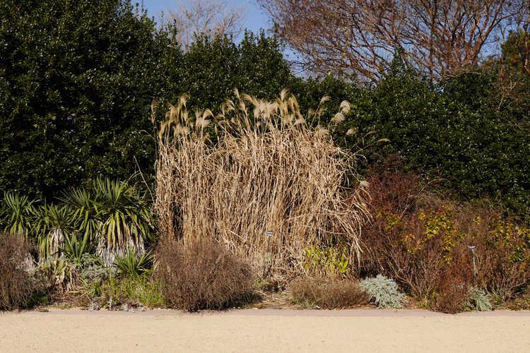 Miscanthus floridulus (giant maiden grass)