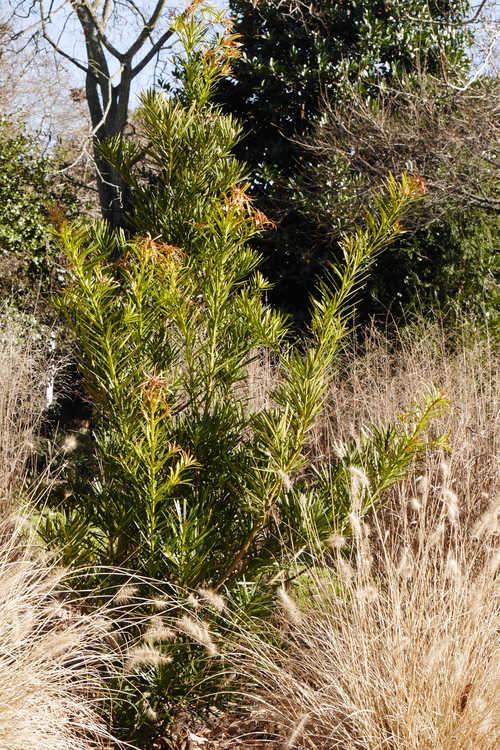Podocarpus macrophyllus var. maki (Japanese yew-pine)