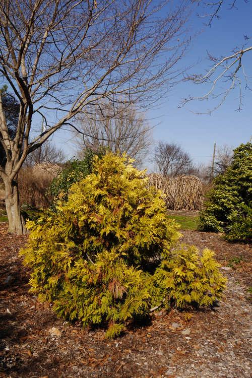 Thuja occidentalis 'Holmstrup's Yellow' (American arborvitae)