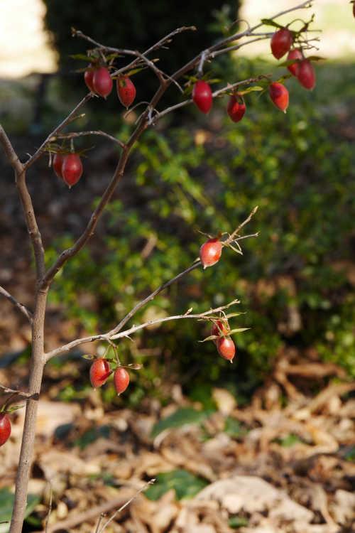 Diospyros rhombifolia 'Suisei'