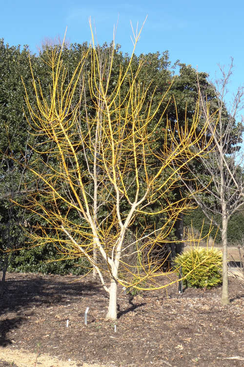 Styphnolobium japonicum 'Winter Gold' (gold-stem Japanese pagoda tree)