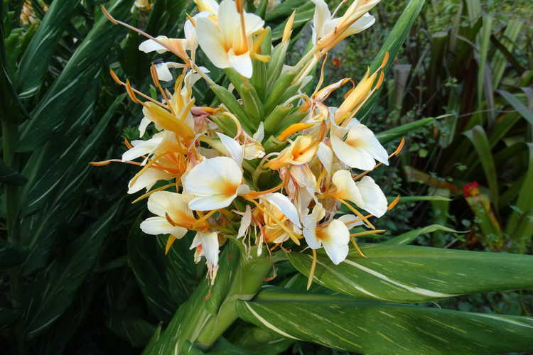 Hedychium 'Dr. Moy' (variegated ginger-lily)