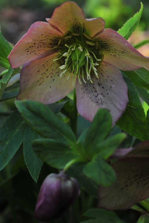 Helleborus ×hybridus (pale pink shades) (Lenten rose)