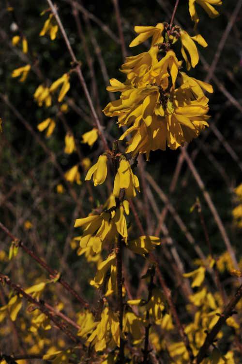 Forsythia 'New Hampshire Gold' (goldenbells)