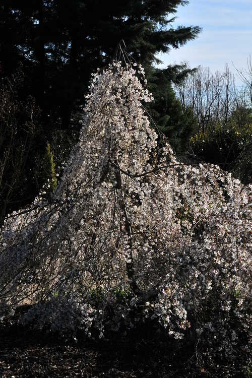 Prunus incisa 'Pendula' (weeping Fuji cherry)