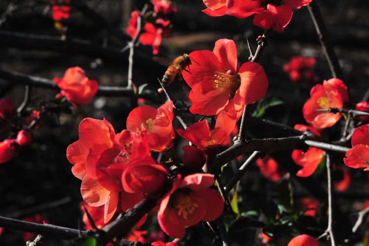 Chaenomeles ×superba 'Mandarin' (hybrid flowering quince)