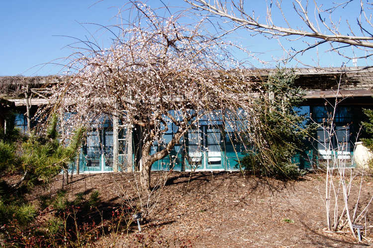 Prunus mume 'Bridal Veil' (weeping Japanese flowering apricot)