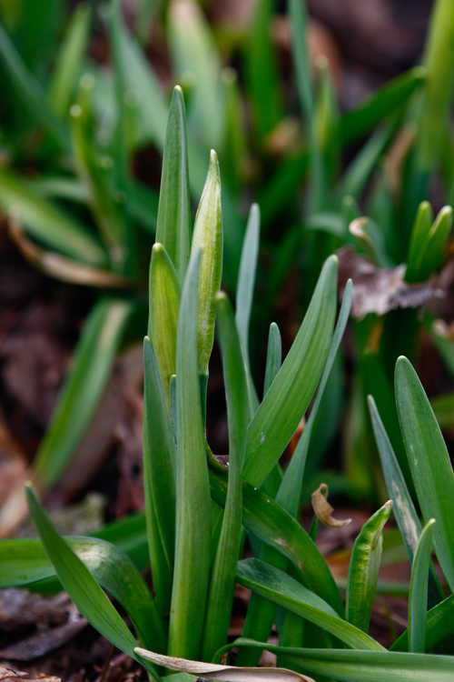 Narcissus 'February Gold' (cyclamineus daffodil)