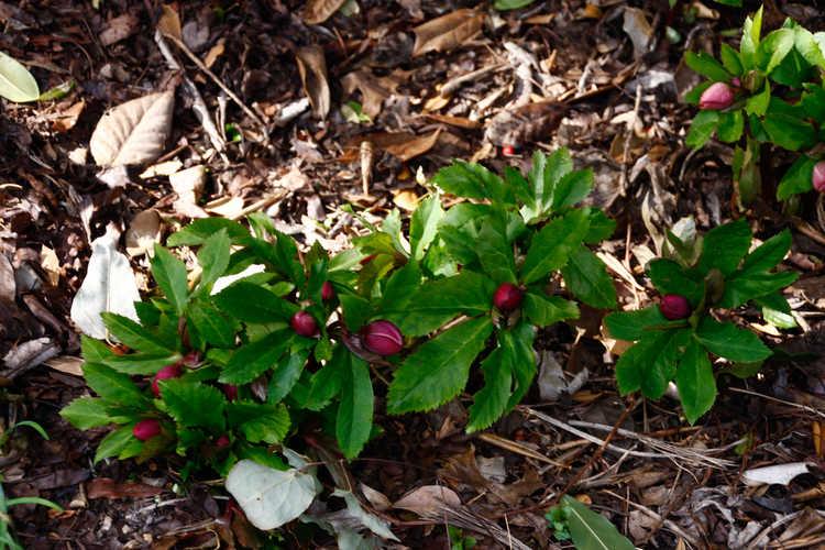Helleborus ×hybridus (Ashwood Garden hybrids) (Lenten rose)