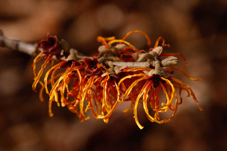 Hamamelis ×intermedia 'Jelena' (copper-flowered common witchhazel)