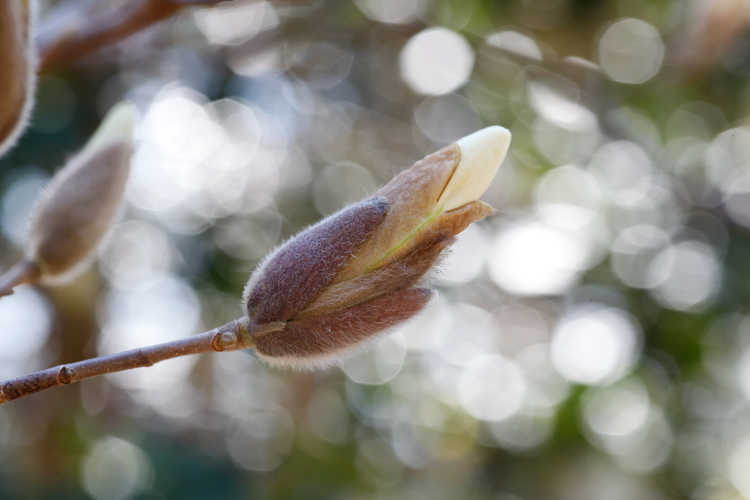 Magnolia 'Anticipation' (Kehr hybrid magnolia)