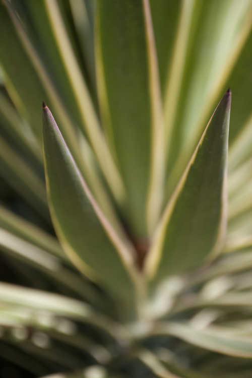 Yucca aloifolia 'Variegata' (variegated Spanish bayonet)