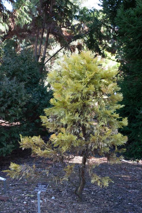 Calocedrus decurrens 'Berrima Gold' (golden California incense-cedar)