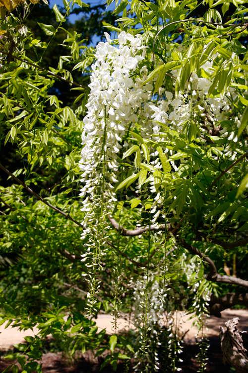 Wisteria floribunda 'Alba' (white-flowered Japanese wisteria)