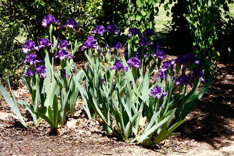 Iris 'Starwoman' (intermediate bearded iris)
