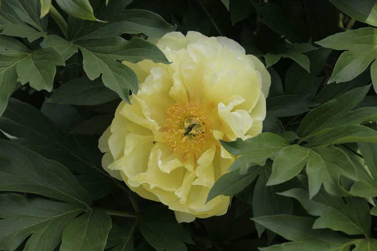 Paeonia 'Bartzella' (Itoh hybrid peony) - Photographs by Susan Bailey.