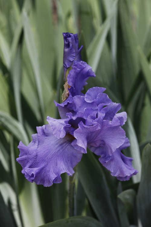 Iris 'Pure Sapphire' (tall bearded iris)