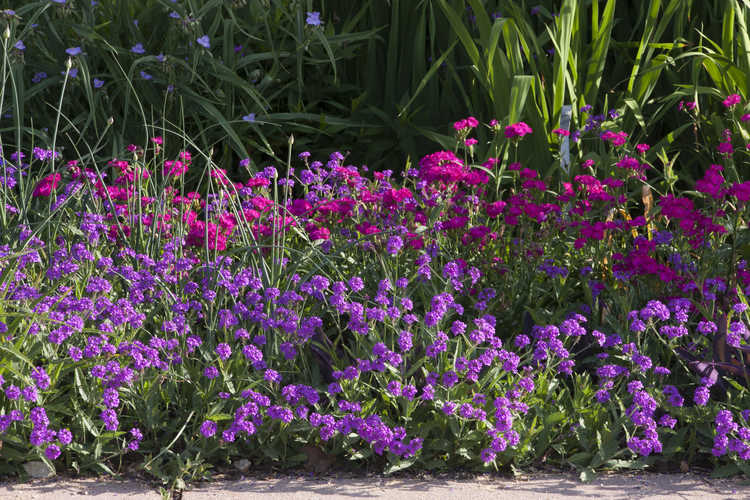 Dianthus 'Chris's Passalong' (perennial sweet William) and Verbena
