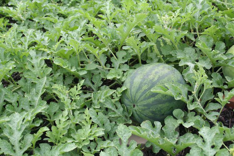 Citrullus lanatus var. lanatus watermelon Color Trials