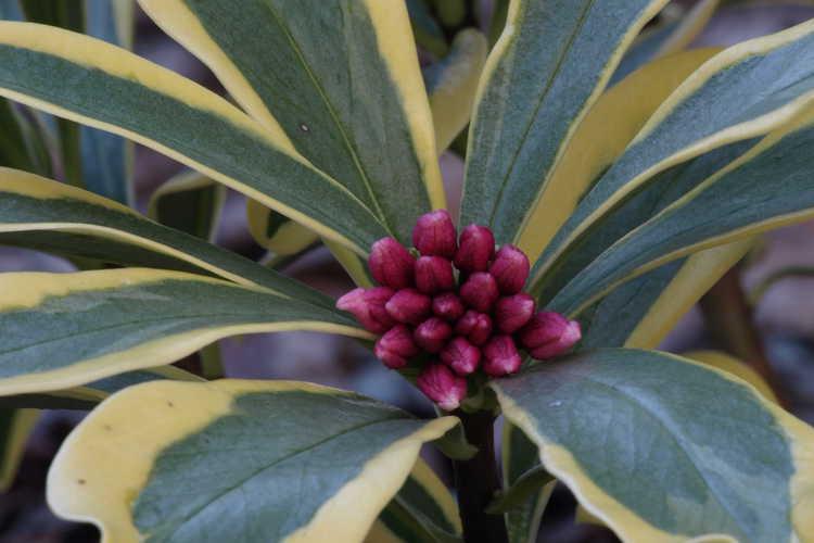 Daphne odora 'Hewreb' (Rebecca variegated winter daphne)