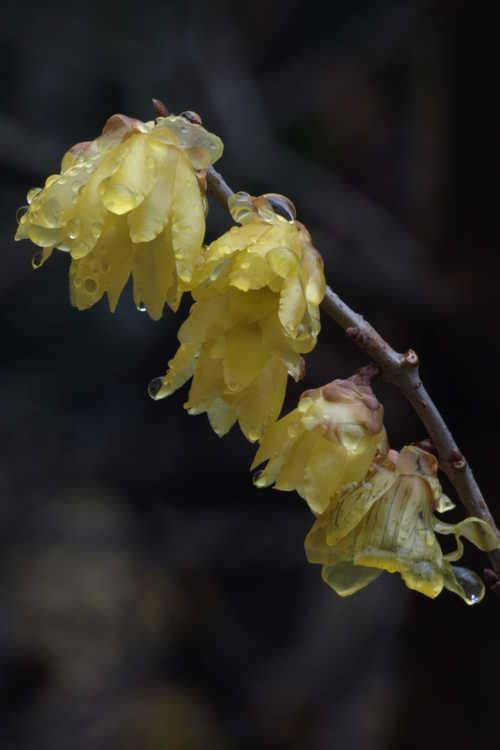 Chimonanthus praecox 'Luteus' (fragrant wintersweet)