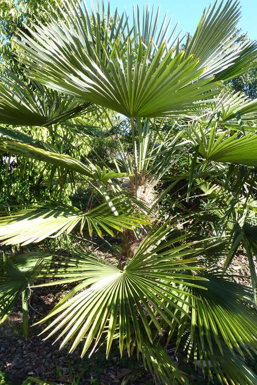 Trachycarpus fortunei 'Wagnerianus' (hardy windmill palm)