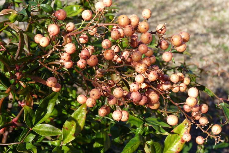 Nandina domestica (ex. twisted leaf)
