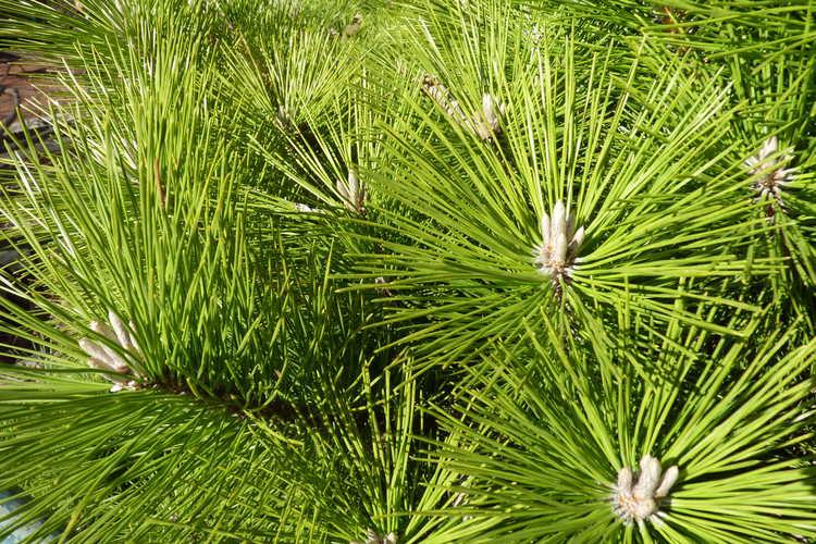 Pinus thunbergii (Japanese black pine)