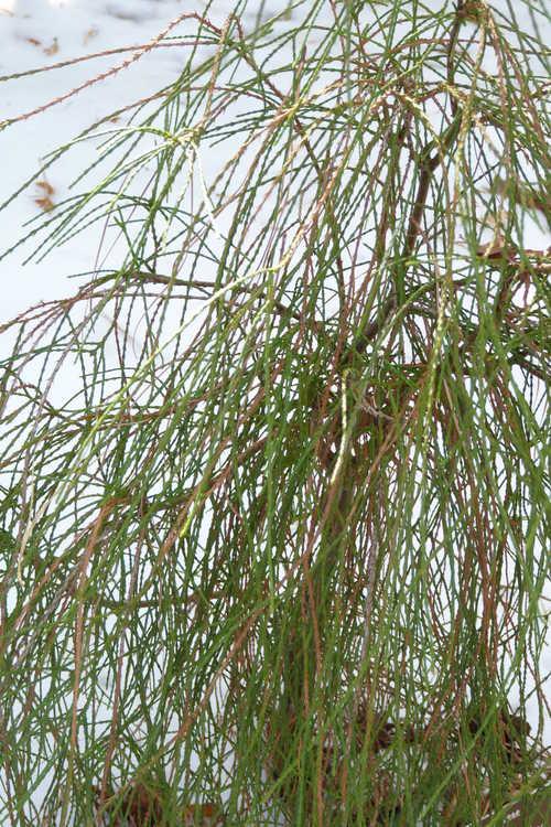 Platycladus orientalis 'Franky Boy' (threadleaf Oriental arborvitae)
