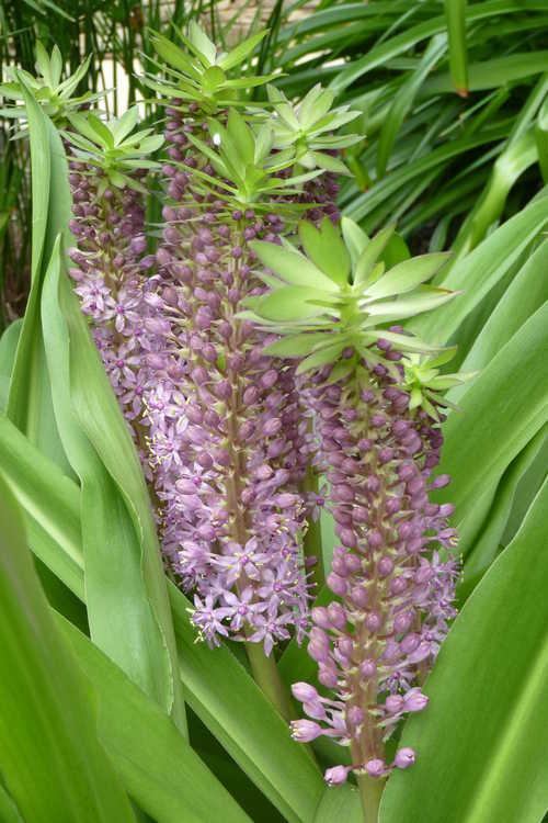 Eucomis 'Reuben' (hybrid pineapple lily)
