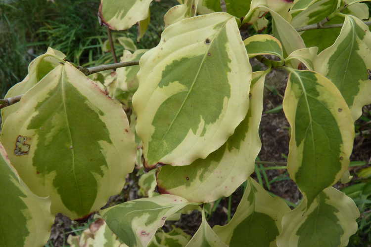 Cornus kousa 'Summer Gold' (variegated Kousa dogwood)