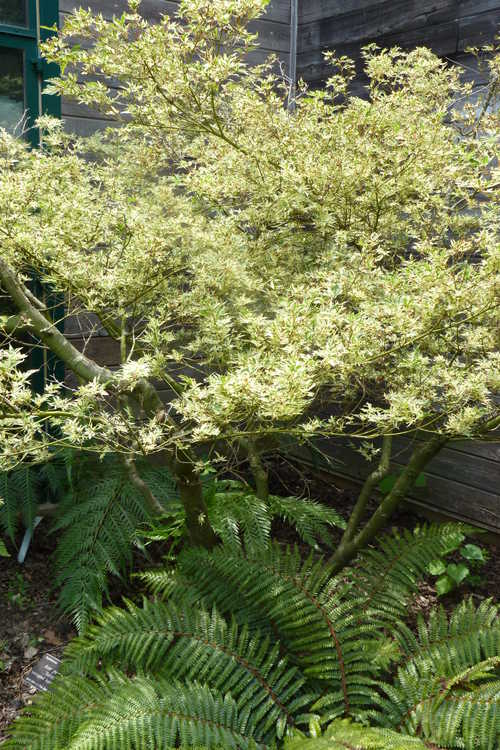 Acer palmatum 'Butterfly' (variegated Japanese maple) and Polystichum polyblepharum (tassel fern)