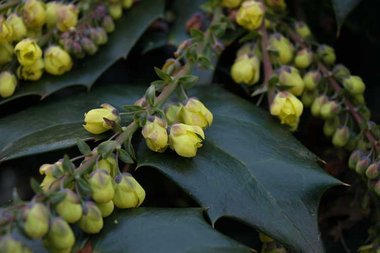 Mahonia japonica (Japanese mahonia)