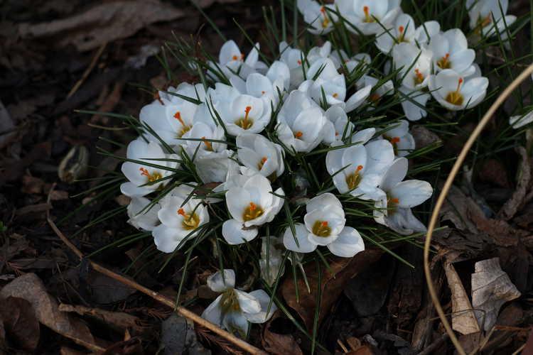 Crocus chrysanthus 'Ard Schenk' (spring crocus)