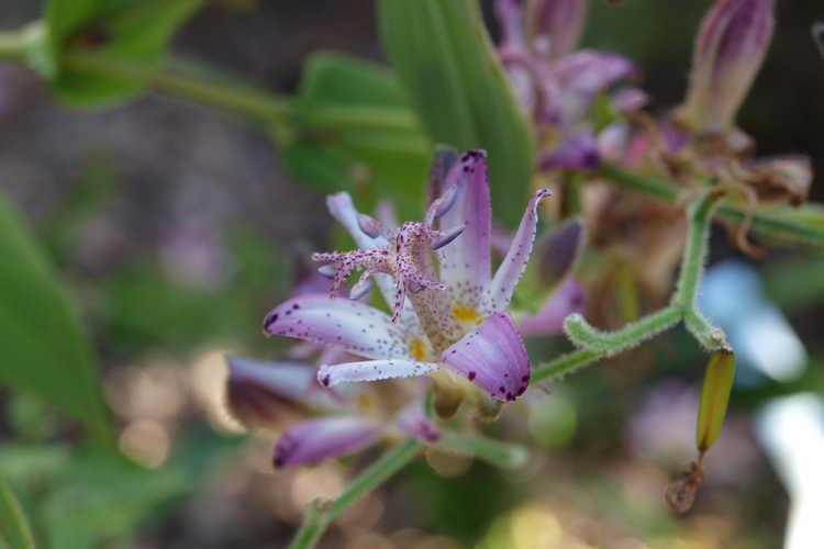 Tricyrtis 'Momoyama'