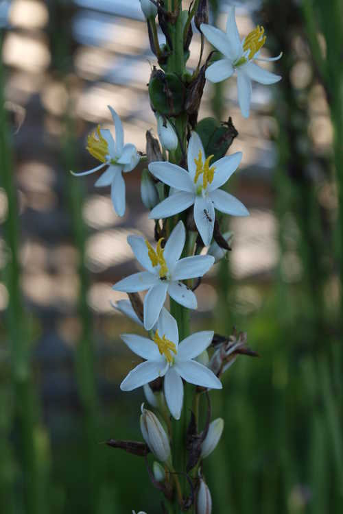 Chlorophytum cf. bowkeri (African snake lily)