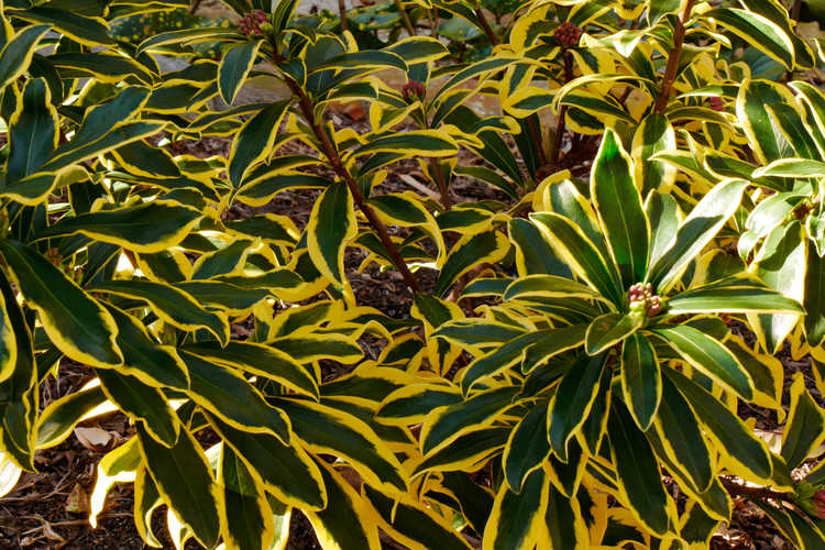 Daphne odora 'Mae-jima' (variegated winter daphne)