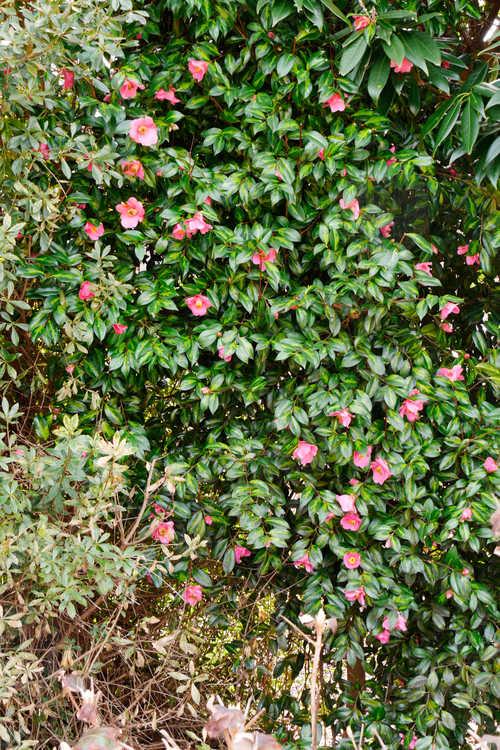 Camellia ×williamsii 'Mary Christian' (Williamsii camellia)