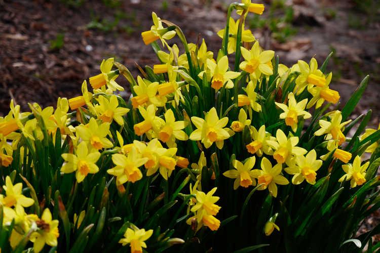 Narcissus 'Tête-à-Tête' (miniature daffodil)