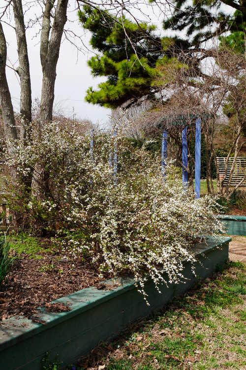 Spiraea thunbergii 'Mount Fuji' (variegated Thunberg spirea)