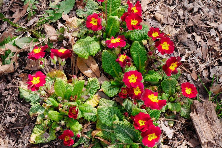 Primula (red shades)