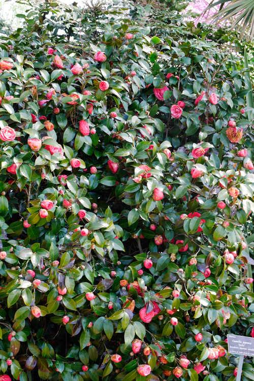 Camellia japonica 'Jacks' (Broadrose Japanese camellia)