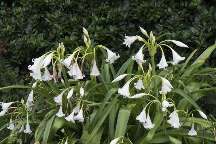 Crinum (crinum-lily)