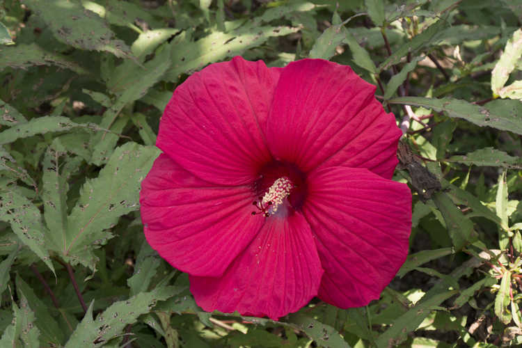 Hibiscus 'Fireball' (Fleming hybrid rose-mallow)