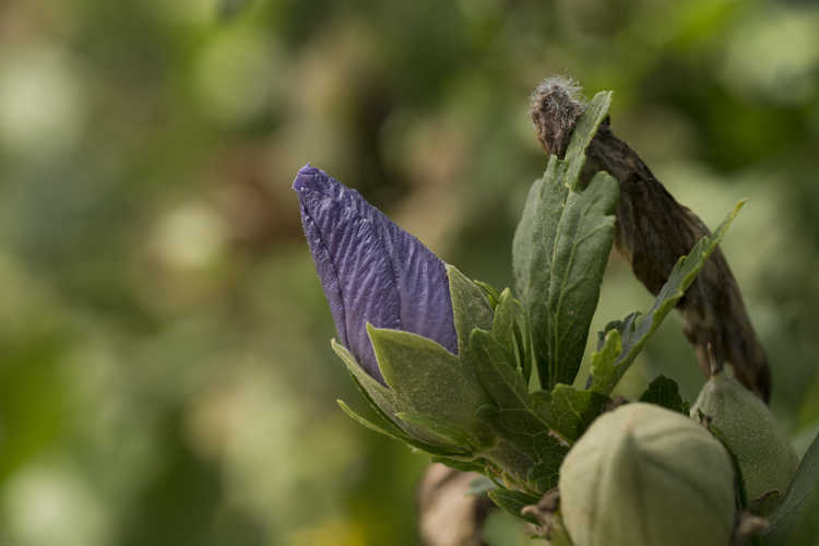 Hibiscus syriacus 'Marina' (Blue Satin rose-of-Sharon)